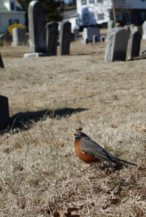 Robins bring life to the cemetery