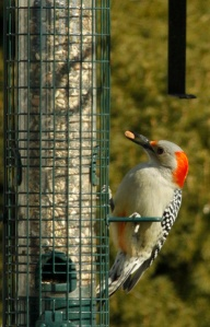 Photo of a red-bellied woodpecker at my feeder.  Have I inherited a love of photography and birds?